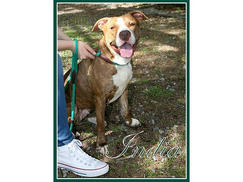 INDIA IS A BEAUTIFUL polite pup according to shelter volunteers She a joy on a leash and seems to