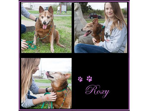 ROXYS A VERY POLITE loving 9yr old probably a Corgi mix who weighs in at about 40lbs She could s