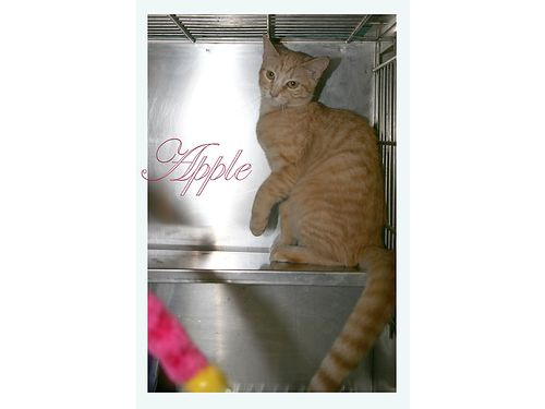 APPLE IS A REALLY CUTE ORANGE KITTY She is about 10 months and very funny and affectionate Adoptio