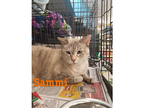 SAMMIS A VERY SWEET 8YR OLD SIAMESE MIX Shes not been around other animals so she would probably
