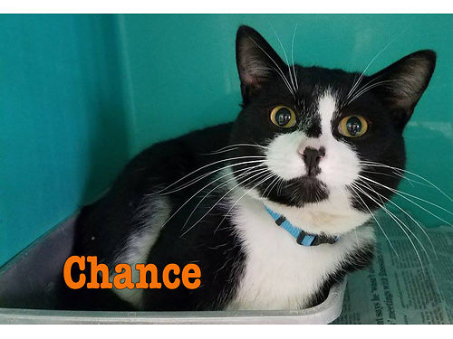 TAKE A CHANCE ON CHANCE This handsome tuxedo kitty is seeking an indoor home with plenty of love an