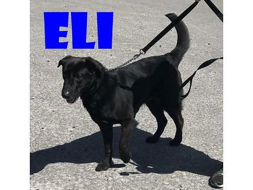 HIDE YOUR HEART Heres Eli Hes a beautiful big lab mix with a heart that fills that big chest H