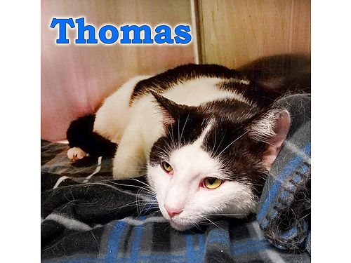 THOMAS IS A BEAUTIFUL white  black cat Hes a big boy  a little shy but volunteers are working wi