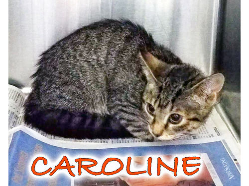 CAROLINES A BEAUTIFUL BROWN TABBY Shes 3mo old  looking for her furever home Shes LOVE to be