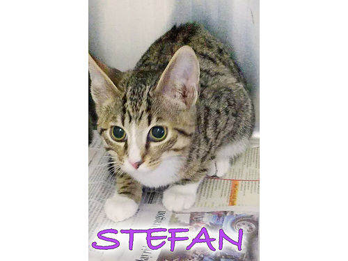 STEFANS AN ADORABLE TABBY KITTEN wbeautiful white markings on his chest  feet Hes 3mos old  c
