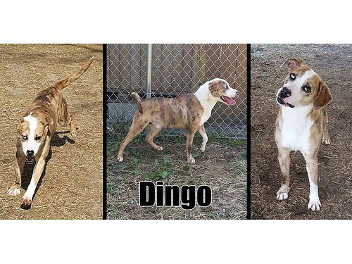 DINGOS A BEAUTIFUL HOUND MIX Hes young playful  great wother dogs He loves to go outside  pl