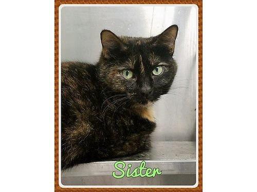 SISTERS A GORGEOUS GREEN EYED TORTI And an absolute sweetheart She gets along wother cats but is