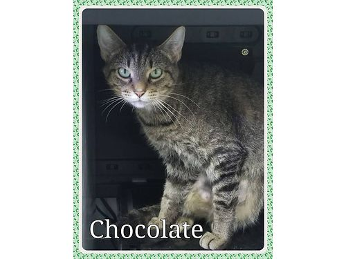CHOCOLATES A BEAUTIFUL BROWN TABBY wgorgeous green eyes She recently had a kitten whos been adop