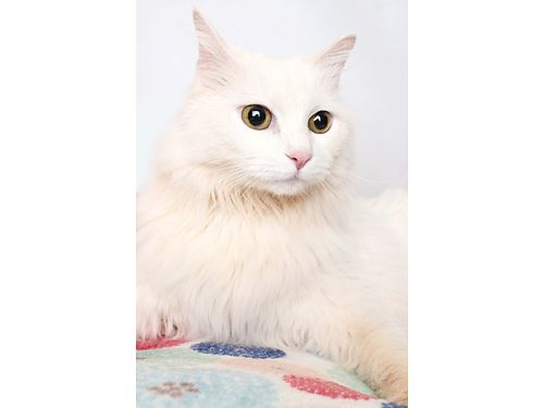 BIG KITTYS A GORGEOUS furry 6yr old female Turkish Angora Adopt this gorgeous girl today she is