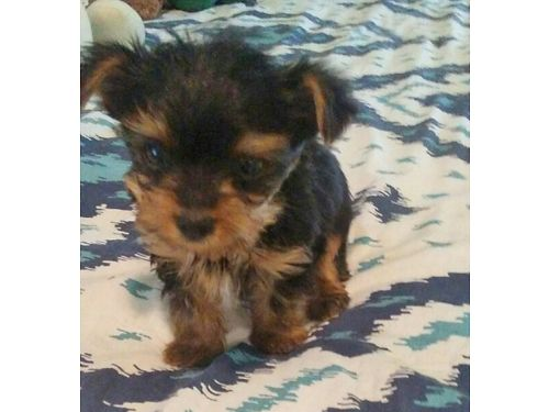 YORKIE PUPPIES AKC Reg 7wks old smaller pups will be approx 3-4lbs 1 female 1 male 800 each