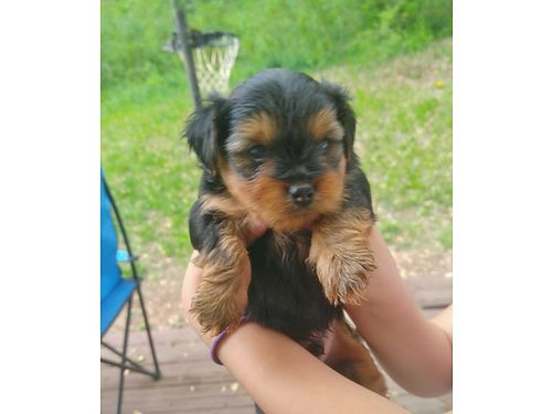 YORKIE PUPPIES Full Blooded but no papers 6wks old males  females parents on premise will have