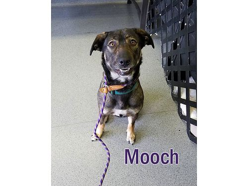 MOOCH IS A LOVELY FEMALE SHEPHERD mix with a great smile  winning personality Adoption fee of 55