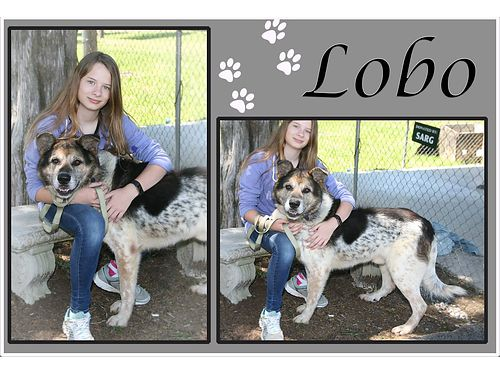 LOBO IS A SWEET OLDER SHEPHERD MIX looking for a loving indoor home to retire in Adoption fee of 5