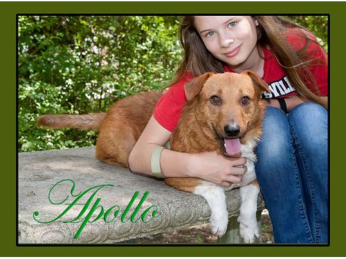APOLLO IS A HAPPY YOUNG CORGIBEAGLE mix Adoption fee of 55 includes spayneuter microchip vacc
