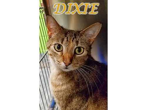 DIXIE IS A YOUNG BROWN  ORANGE TABBY Shes playful affectionate  looking for an indoor home Ado