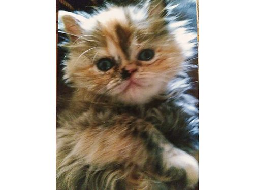 PERSIAN  HIMALAYAN KITTENS Summer Sale Various Colors Flat face males  females adorable very