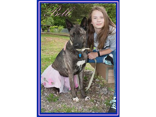 BELLE IS A STUNNING large brindle German Shepherd mix that seems to like everyone she meets Adopti