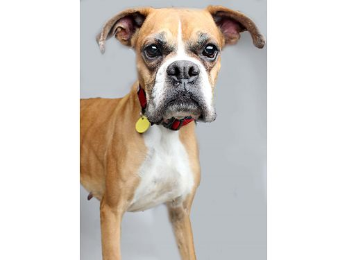 WHO CAN RESIST JUNES eyes  adorableness Shes excited to meet you Junes a Boxer mix loves to g
