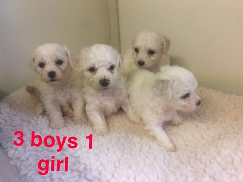 BICHON FRISE PUPPIES CKC Registered 3 males  2 females fluffy adorable all white Pups will ha