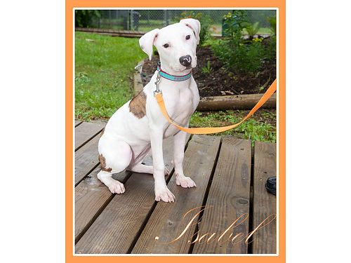 ISABEL IS A 5MO OLD HOUNDPIT mix Shes sweet as can be Shelter volunteers love her Adoption fee