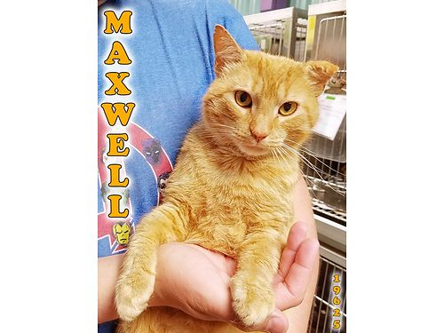 MAXWELL IS SAID TO BE the sweetest cat at the shelter This orange male tabby will melt your heart