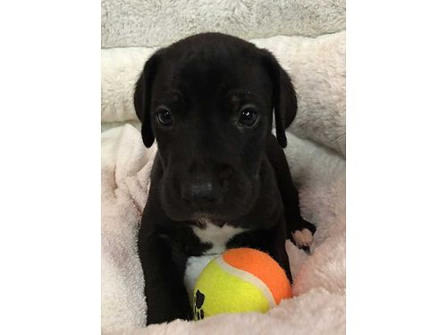 GREAT DANE PUPPIES AKC Reg Males  females Gorgeous Well Socialized Babies Vet Checked wormed