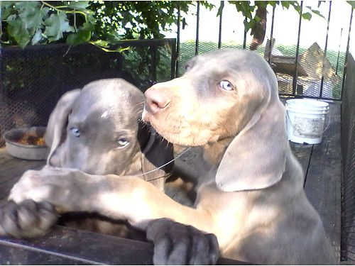 WEIMARANER PUPPIES 2 one Silver male one Blue Female 9wks old adorable pup