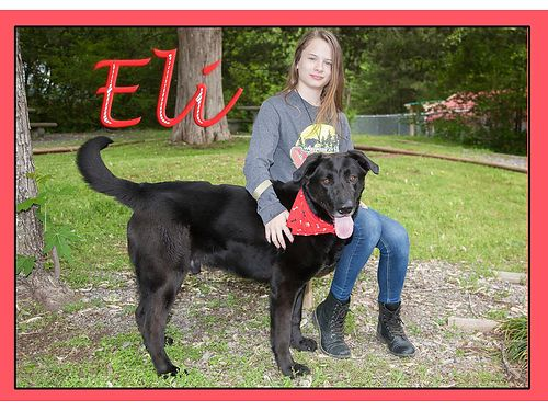 ELI IS A BIG BEAUTIFUL LAB MIX boy with a huge heart He would do best in a home wno small childre