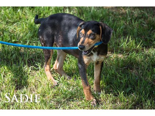 SADIE IS A SUPER CUTE HOUND mix puppy She is very friendly and hopes to find her family soon Adopt