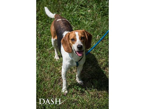 DASH IS A YOUNG MALE BEAGLE MIX He is very friendly  appears to be well mannered Adoption fee 55