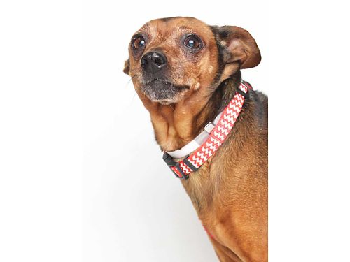 BLAIRS A 9YR OLD MINIATUREPINCHER She loves to play wother small dogs Blair loves most people