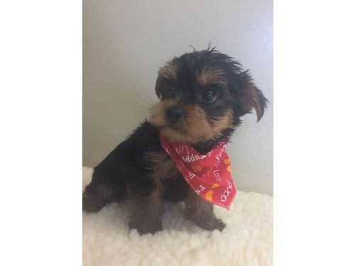 YORKIE PUPPY CKC registered 1 male shots wormed black  tan 7wks old adorable very small LA