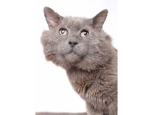 LOOK AT MY GORGEOUS GREEN EYES  grey fur Im Gandalf Im a lover My purr engine roars if give me