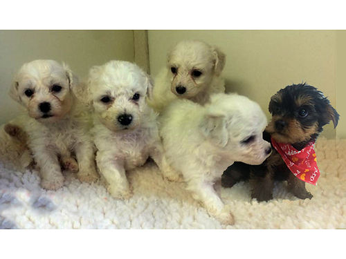 BICHON FRISE  YORKIE PUPPIES All CKC Registered 2 males left Fluffy adorable all white 600 e