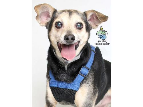 IM SONIC Im a Senior Chihuahua Mix 12yrs old  already neutered They say I am an Absolute Doll