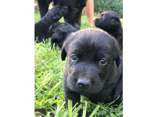LAB PUPPIES AKC Black lab pups from hunting stock 3wks old males only Now taking deposits pups
