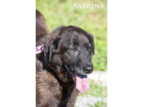 SABRINA IS A SWEET 6-7YR OLD chocolate lab mix looking for a new love Shes a friendly gal that wo
