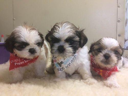 SHIH-TZU PUPPIES CKC registered 3 males adorable pre-spoiled beautiful babies parents on premise