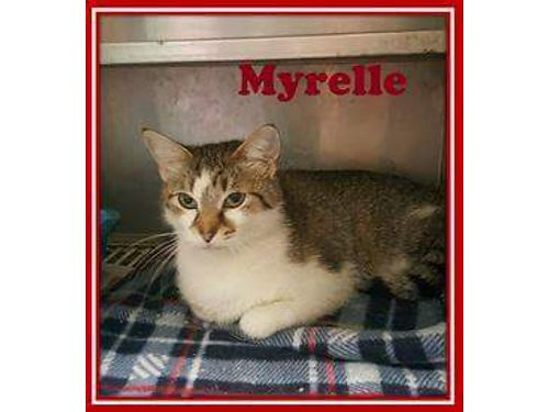 MYRELLES AN AFFECTIONATE playful 1yr old tabby looking for her indoor home Adoption fee of 55 in