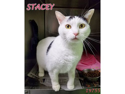 STACEYS A 4YR OLD GIRL who is EXTREMELY spry  active She is sweet playful  LOVES catnip Adopti