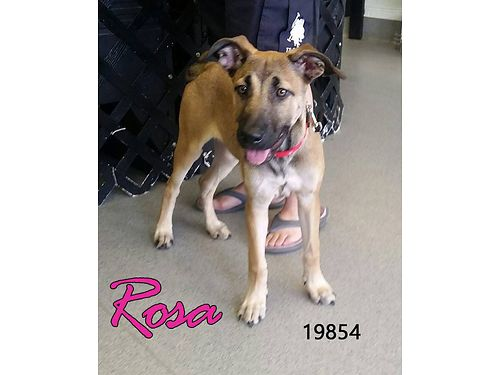 ROSA IS A FEMALE SHEPHERD MIX PUPPY She is sweet and friendly Adoption fee 55 includes spay micr