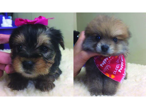 PUPPIES CKC registered Yorkies  Pomeranian Pups Males  Females adorable pre-spoiled beautiful b