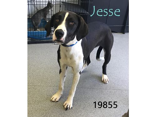 JESSES a sweet large 5mo old hound mix that might have some Great Dane mixed in Shes looking for