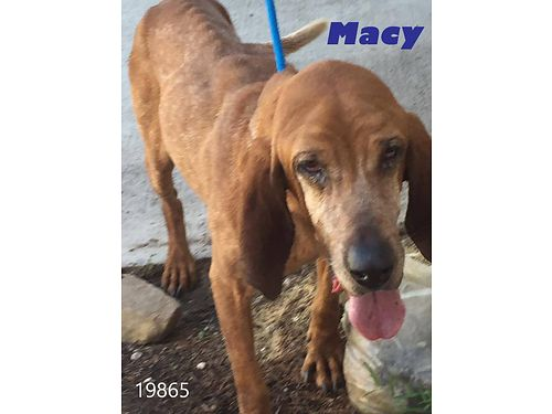 MACYS a 9yr old Redbone Hound mix in need of some love  lots of regular meals Shes skinny but h