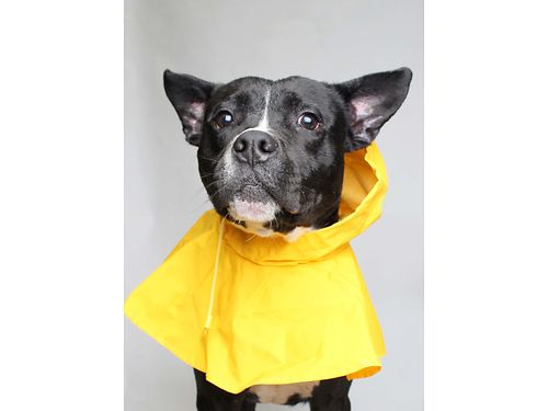 MICKEYS A 4YR OLD MALE American Staffordshire Terrier mix who loves to play outside rain or shine