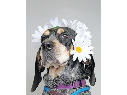 JETHROS A 7YR OLD BLUETICK COONHOUND mix looking for a forever family who can show him lots of love