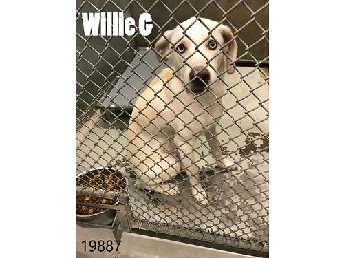 WILLIE GS A 10MO OLD LABHUSKY MIX He needs a home with no small children He is good with cats and