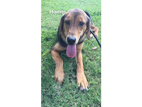 MEET HOMER Hes a gorgeous lovable young black  tan hound mix Hes very easy on a leash loves b