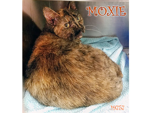MOXIES A VOCAL 5YR OLD TORTIE GIRL looking for a loving indoor home Adoption fee includes spayneu