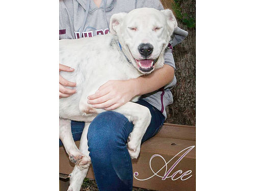 ACE IS A SUPER FRIENDLY LABPIT MIX with an awesome smile looking for an equally awesome indoor hom